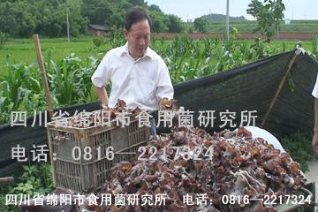 毛木耳培训 栽培技术 菌种 图片